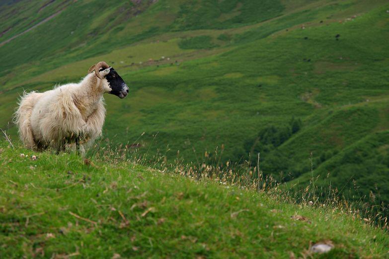 Шотландская горная овца